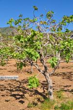 Pistache trees Aegina | Marathonas | Greece  2 - Photo JustGreece.com