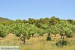 Pistache trees near Palaiochora | Aegina | Greece  Photo 2 - Photo JustGreece.com