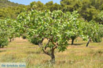 JustGreece.com Pistache trees near Palaiochora | Aegina | Greece  Photo 3 - Foto van JustGreece.com