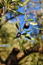 JustGreece.com Olive tree near Steni Vala Alonissos | Sporades | Greece  - Foto van JustGreece.com