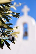 JustGreece.com Olive tree near chappel Agios Petros Steni Vala Alonissos | Sporades | Greece  - Foto van JustGreece.com