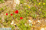 Bloemen in Penteli near Athens | Attica | Attica - Photo JustGreece.com