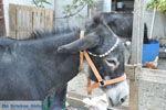Donkey sanctuary Aghia Marina near Petrokefali | South Crete | Greece  Photo 9 - Photo JustGreece.com