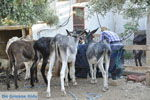 JustGreece.com Donkey sanctuary Aghia Marina near Petrokefali | South Crete | Greece  Photo 33 - Foto van JustGreece.com