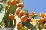 JustGreece.com Cactusvijgen near Taverna the Belgen in Vori | South Crete | Greece  Photo 2 - Foto van JustGreece.com