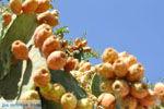 JustGreece.com Cactusvijgen near Taverna the Belgen in Vori | South Crete | Greece  Photo 3 - Foto van JustGreece.com