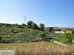 Druivengaard near Agios Donatos Englouvi - Lefkada (Lefkas) - Photo JustGreece.com