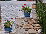 Bloemen Piso Livadi Paros | Cyclades | Greece Photo 11 - Photo JustGreece.com