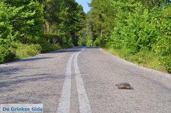 Schildpad over de weg in North-Euboea | Greece | Greece  - Photo JustGreece.com