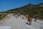 Goats near Agia Theodoti Ios - Psathi Ios - Cyclades Photo 288 - Photo JustGreece.com