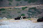 JustGreece.com Eend near Panagia Kastriani ten oosten of Otzias | Kea (Tzia) Photo 28 - Foto van JustGreece.com