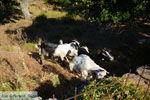 Pera Meria | Overal eikenbomen | Kea (Tzia) Photo 6 - Photo JustGreece.com