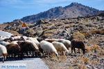 JustGreece.com Sheep and shepherds near Sigri | Lesbos Greece | Photo 5 - Foto van JustGreece.com