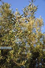 JustGreece.com Olive trees  near Molyvos | Lesbos Greece | Photo 1  - Foto van JustGreece.com