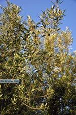Olive trees  near Molyvos   Lesbos Greece   Photo 2 - Photo JustGreece.com