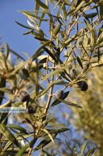 Olive trees  near Molyvos | Lesbos Greece | Photo 3 - Photo JustGreece.com