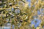 JustGreece.com Olive trees  near Molyvos | Lesbos Greece | Photo 4 - Foto van JustGreece.com