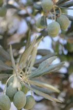 Nemea Corinth | Peloponnese | Greece Photo 49 - Photo JustGreece.com