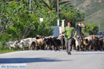 Jonge herder with zijn geiten | Skyros | Greece - Photo JustGreece.com