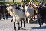 Goats on Skyros | Skyros Greece Photo 1 - Photo JustGreece.com