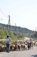 Goats on Skyros   Skyros Greece Photo 4 - Photo JustGreece.com