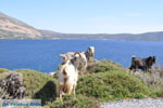 JustGreece.com Goats near Kalamitsa | Skyros Greece Photo 1 - Foto van JustGreece.com