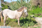 Dwergpaard Skyros | Greece Photo 4 - Photo JustGreece.com