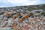 Schapen in the zuiden of Skyros | Photo 5 - Photo JustGreece.com