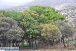 Skyriaanse trees | Zuid-Skyros - Photo JustGreece.com