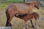 Dwarf Horse with foal | Skyros Greece - Photo JustGreece.com