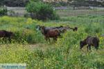 Wilde dwergpaarden Skyros | Greece | Greece  Photo 1 - Photo JustGreece.com
