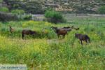 Wilde dwergpaarden Skyros | Greece | Greece  Photo 2 - Photo JustGreece.com